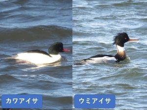 似ている野鳥の違いと見分け方 カワアイサ ウミアイサ
