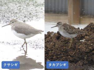 似ている野鳥の違いと見分け方 クサシギ タカブシギ