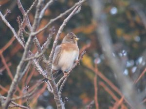 袖ヶ浦公園 野鳥 アトリ