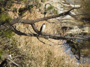 観音崎公園の野鳥 ハヤブサ