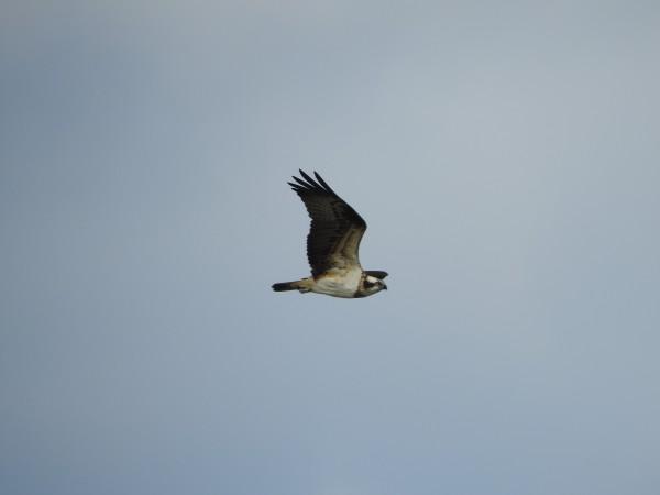 北印旛沼上空を飛ぶミサゴ
