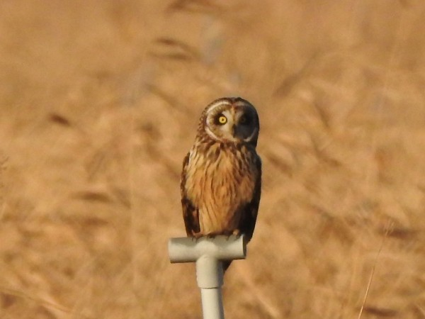 冬の猛禽類の観察におすすめの探鳥地 甘田干拓 コミミズク