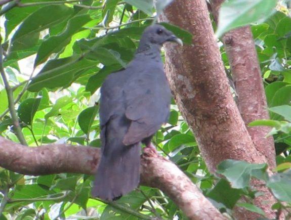 黒い野鳥 カラスバト