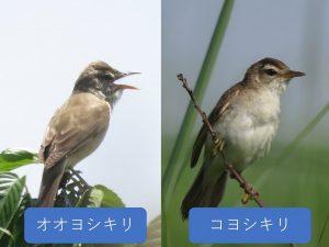 似ている野鳥の違いと見分け方 オオヨシキリ コヨシキリ