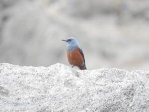 城ケ島の野鳥 イソヒヨドリ