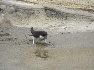 城ケ島の野鳥 イワツバメ