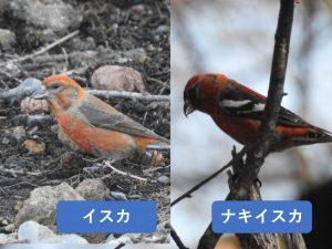 似ている野鳥の違いと見分け方 イスカ ナキイスカ