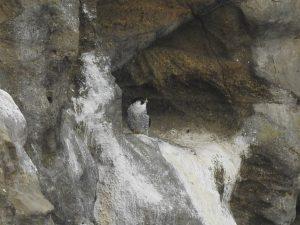 城ケ島の野鳥 ハヤブサ