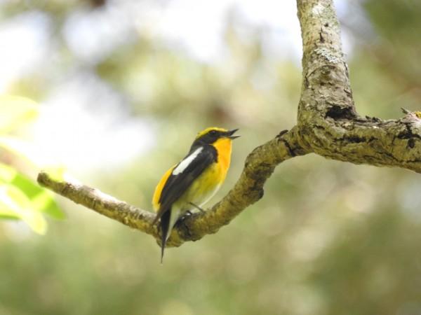 人気の夏鳥 キビタキ