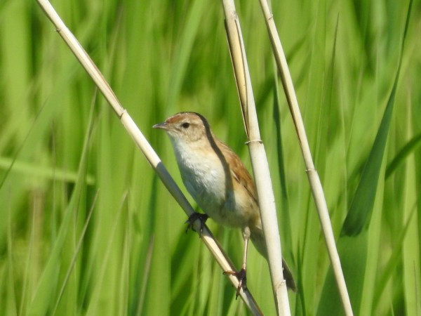 河川敷で見られる野鳥 オオセッカ