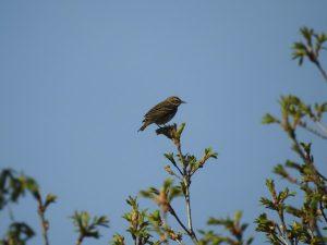 井戸湿原の野鳥 ビンズイ