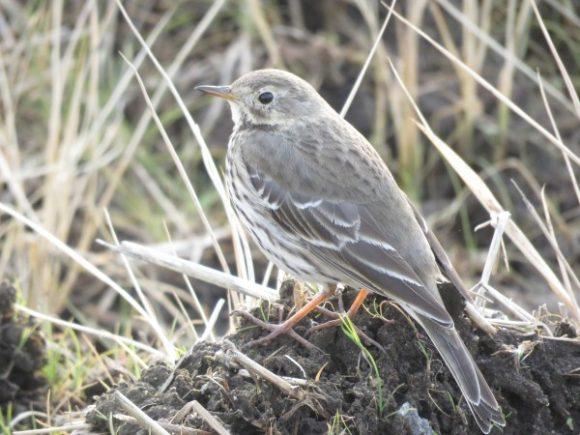 冬に地面で見られる野鳥 タヒバリ