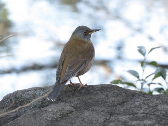 冬に地面で見られる野鳥 シロハラ