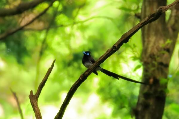 人気の夏鳥 サンコウチョウ