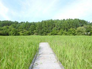 大谷地湿原 ノジコ