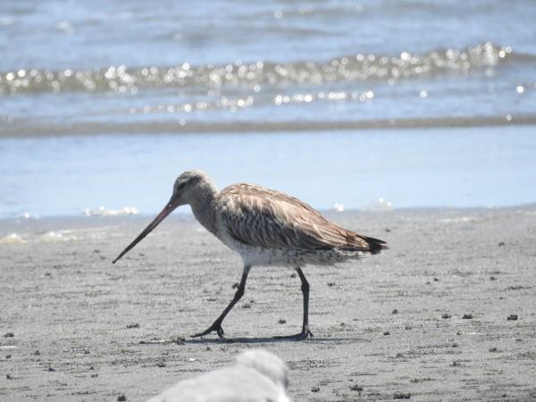 ふなばし三番瀬海浜公園で見られる野鳥 オオソリハシシギ