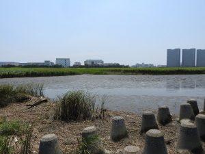 キアシシギの生息地 多摩川六郷橋緑地