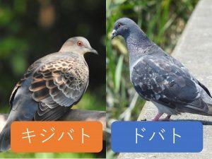 似ている野鳥の違いと見分け方 キジバト ドバト