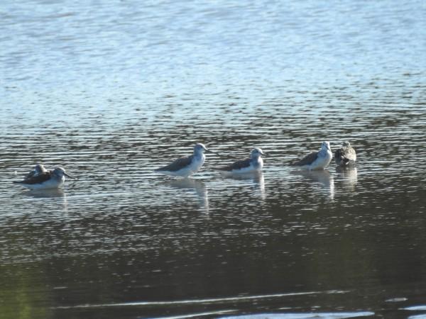 シギチドリ 多々良沼
