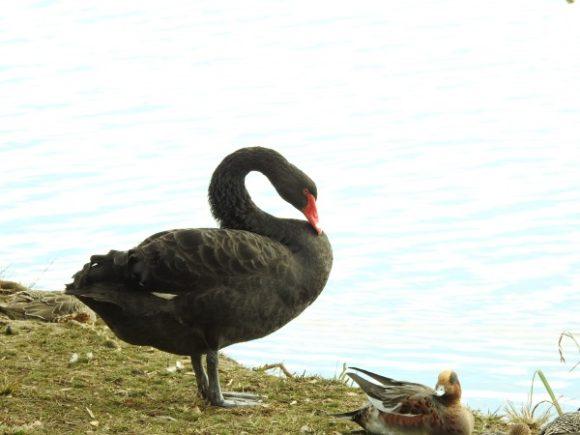 黒い野鳥 コクチョウ