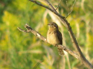 芝川第一調節池の野鳥 アリスイ