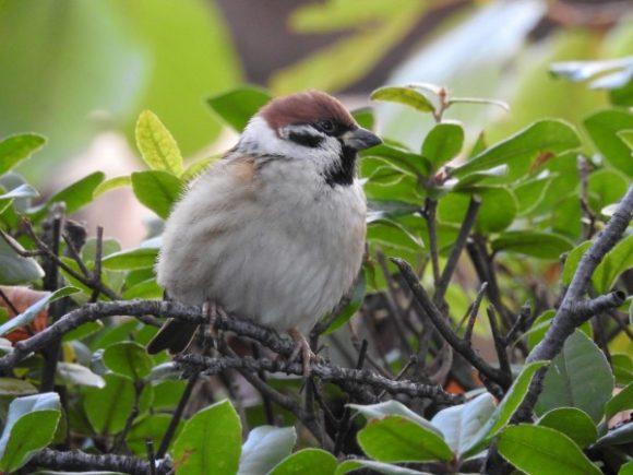 ディズニーランドの野鳥 スズメ