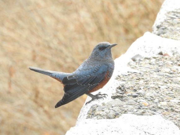 河川敷で見られる野鳥 イソヒヨドリ