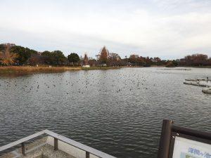カモ類などの水鳥観察におすすめの探鳥地 浮間公園