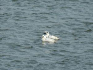 彩湖の野鳥 ミコアイサ