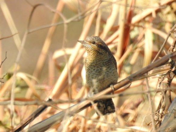 河川敷で見られる野鳥 アリスイ