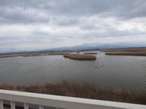 トビの生息地 福島潟