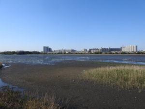 チュウシャクシギの生息地 谷津干潟