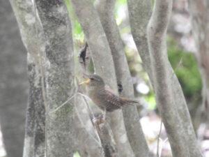 井戸湿原の野鳥 ミソサザイ