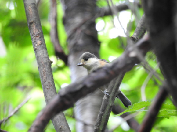 ヤマガラの幼鳥