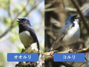 似ている野鳥の違いと見分け方 オオルリ コルリ