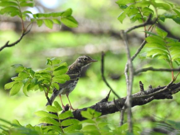 ビンズイの幼鳥