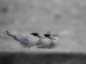 コアジサシ 東京都内で観察できる夏鳥