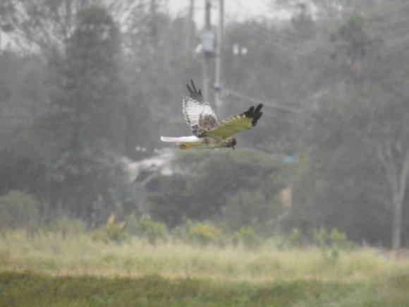 獲物を探して飛び回る大陸型のズグロのチュウヒ
