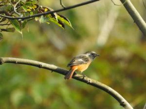 富津岬の野鳥 ジョウビタキ
