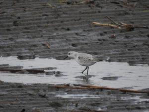 富津岬の野鳥 ミユビシギ