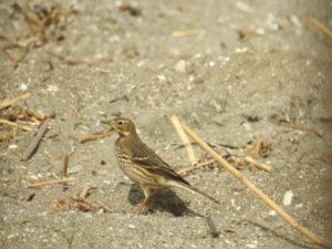 富津岬の野鳥 タヒバリ