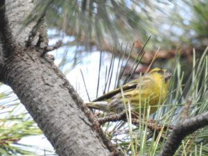 富津岬で見られる野鳥 マヒワ
