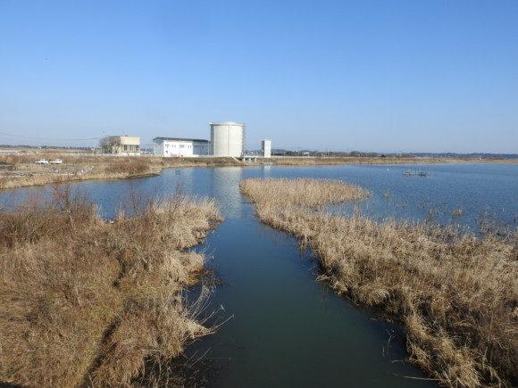 ミコアイサの生息地 北印旛沼