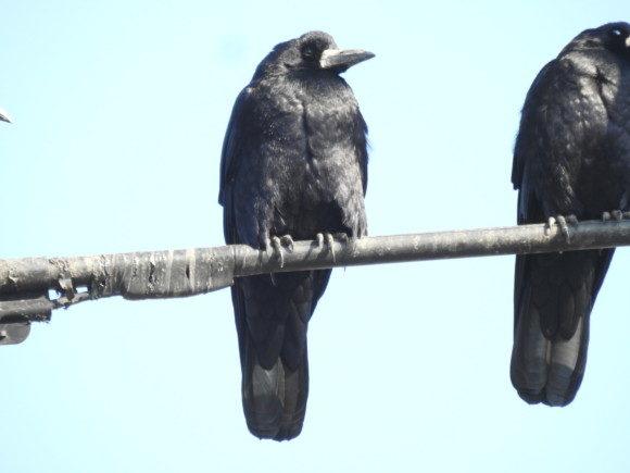 黒い野鳥 ミヤマガラス