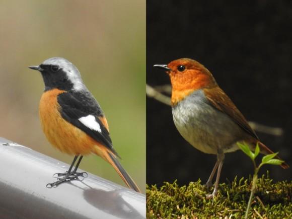 オレンジ色の野鳥