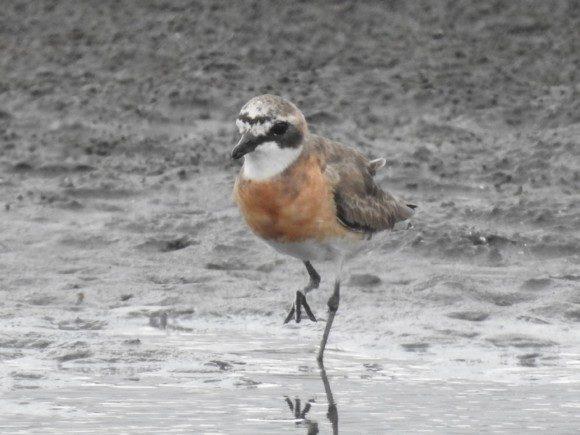オレンジ色の野鳥 メダイチドリ