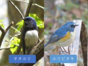 似ている野鳥の違いと見分け方 オオルリ ルリビタキ