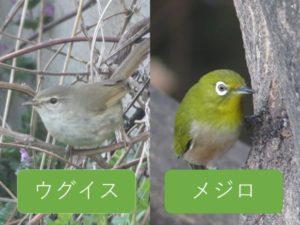 似ている野鳥の違いと見分け方 ウグイス メジロ