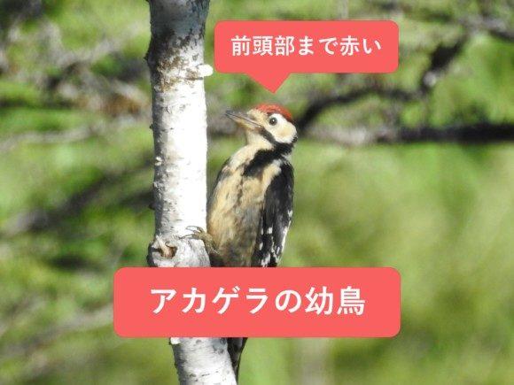 アカゲラの幼鳥