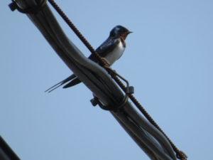 東京都内で見られる夏鳥 ツバメ